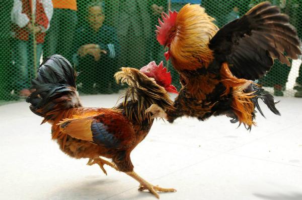 Taruhan Ayam Terpercaya