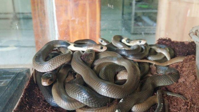 5 Hal Terkait Penemuan Induk dan Puluhan Anak King Kobra di Perumahan Bekasi